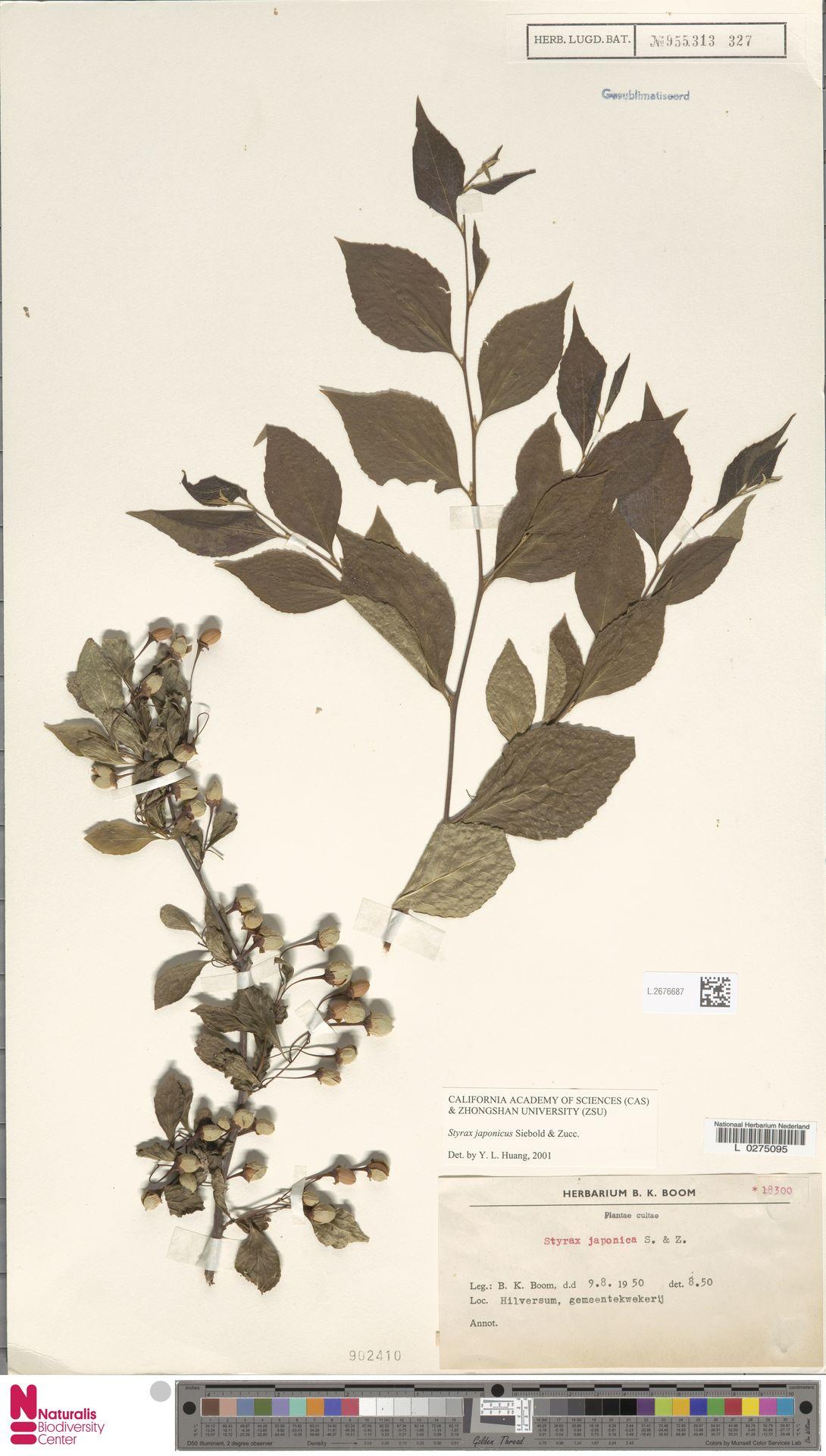 L.2676687 | Styrax japonicus Siebold & Zucc.