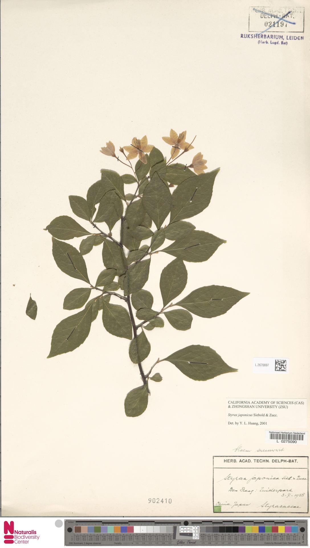 L.2676697 | Styrax japonicus Siebold & Zucc.