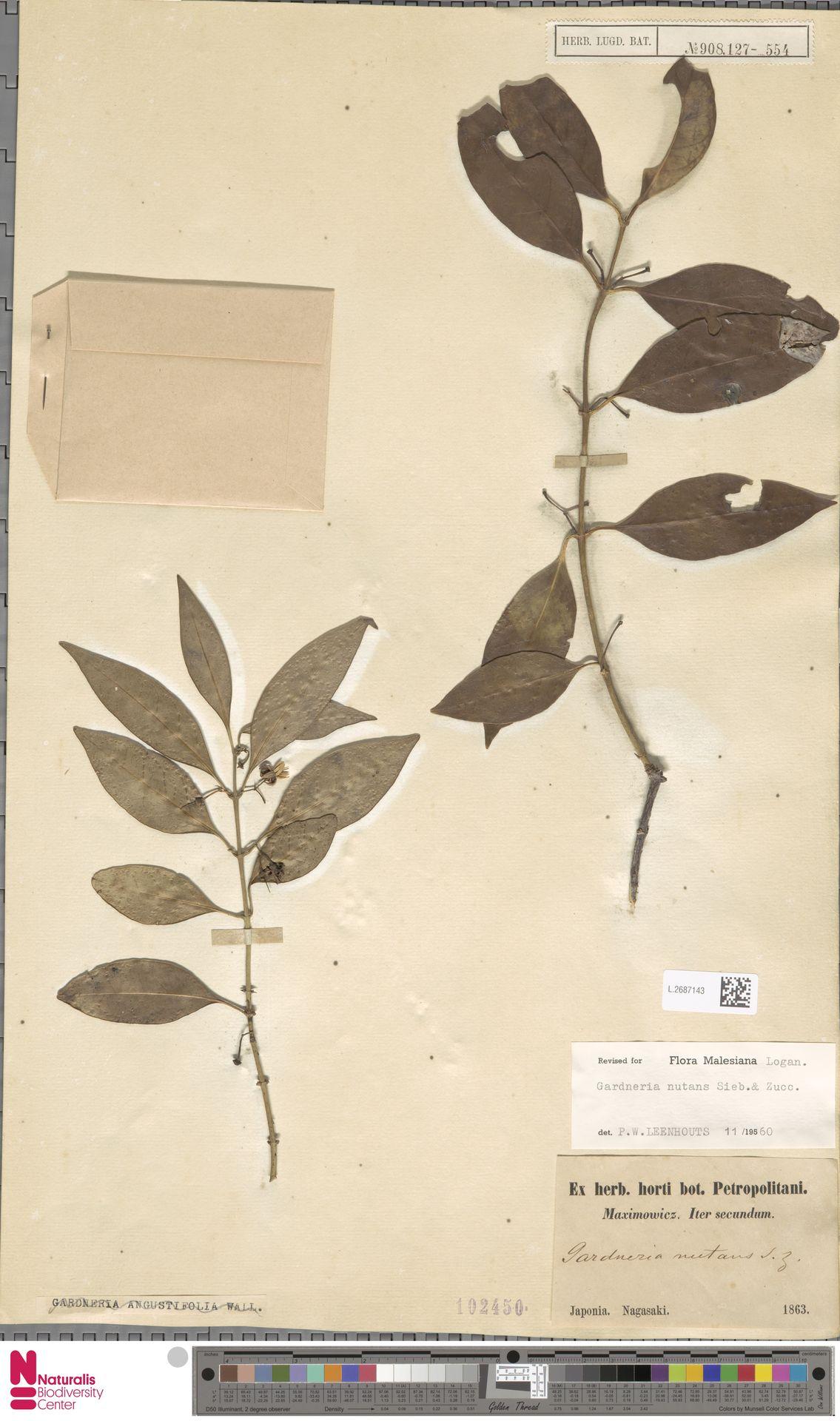 L.2687143 | Gardneria nutans Siebold & Zucc.