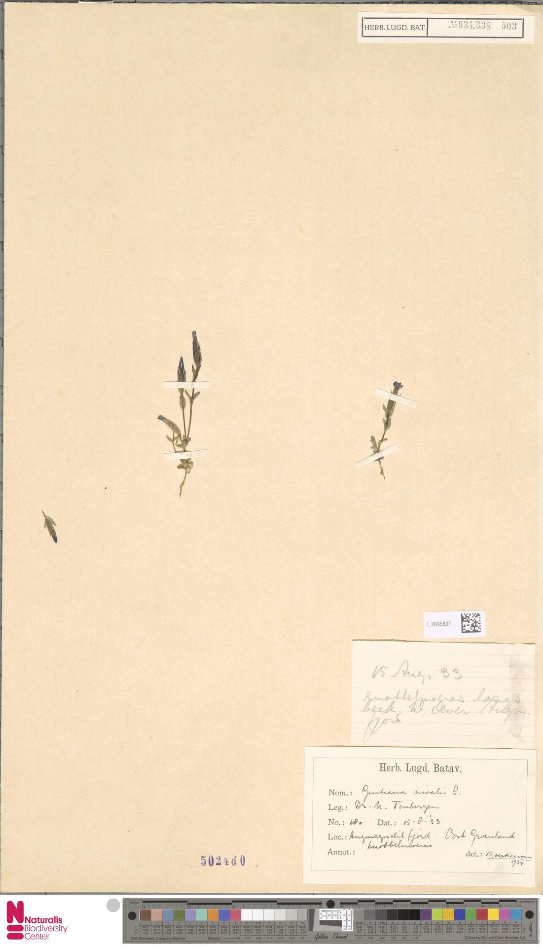 L.2695837 | Gentiana nivalis L.