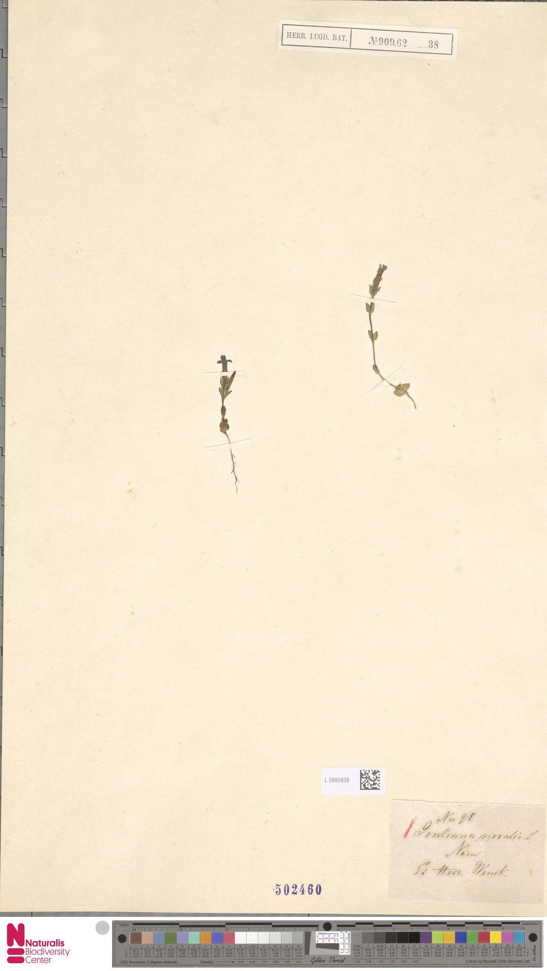 L.2695838 | Gentiana nivalis L.