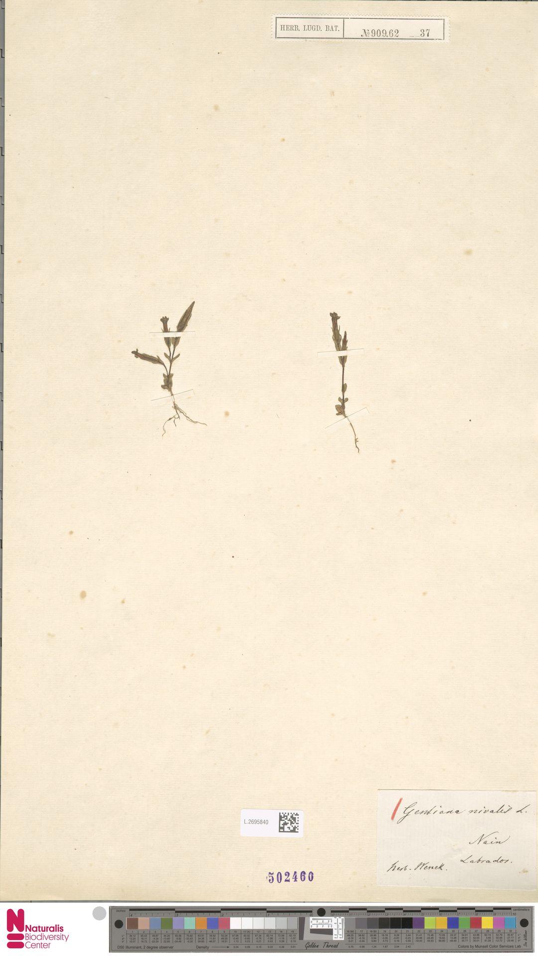 L.2695840 | Gentiana nivalis L.