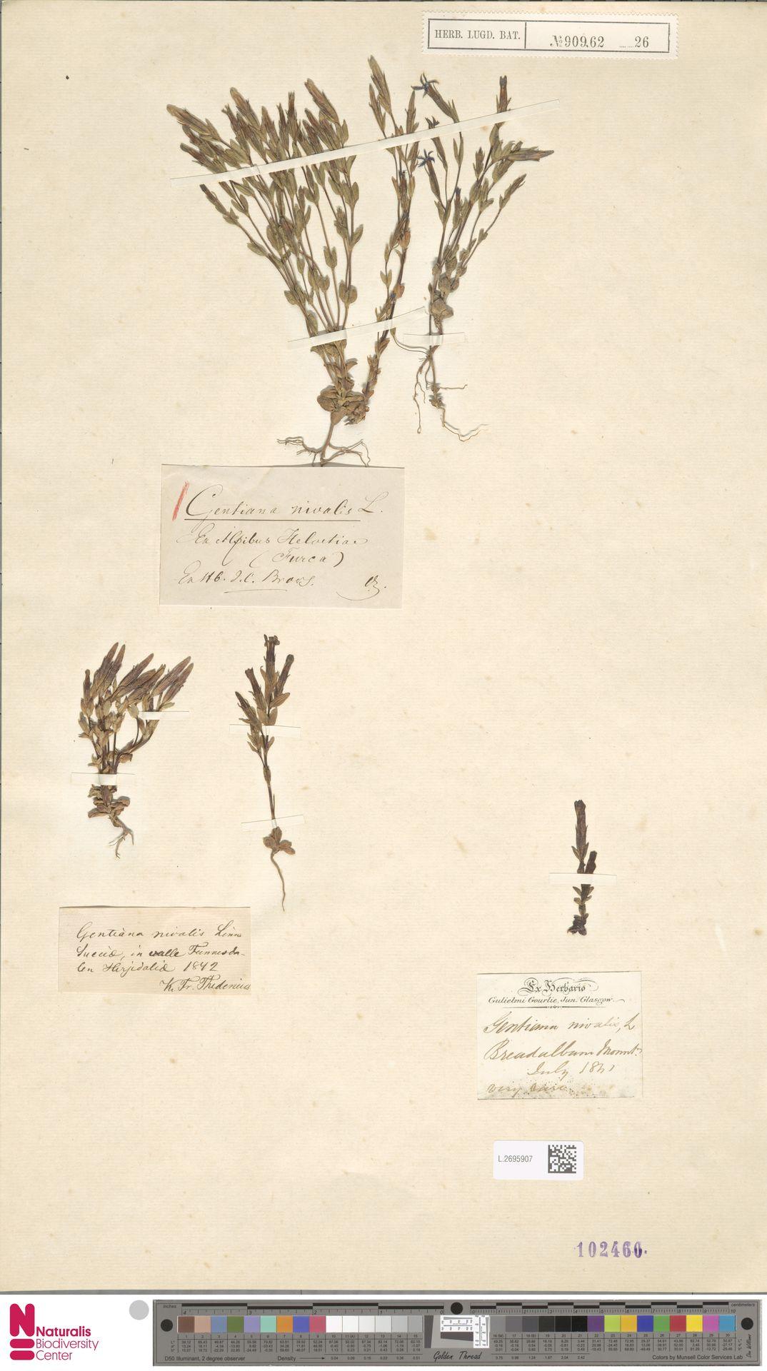 L.2695907 | Gentiana nivalis L.