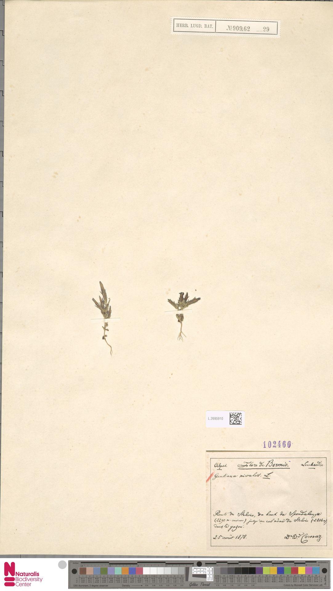 L.2695910 | Gentiana nivalis L.
