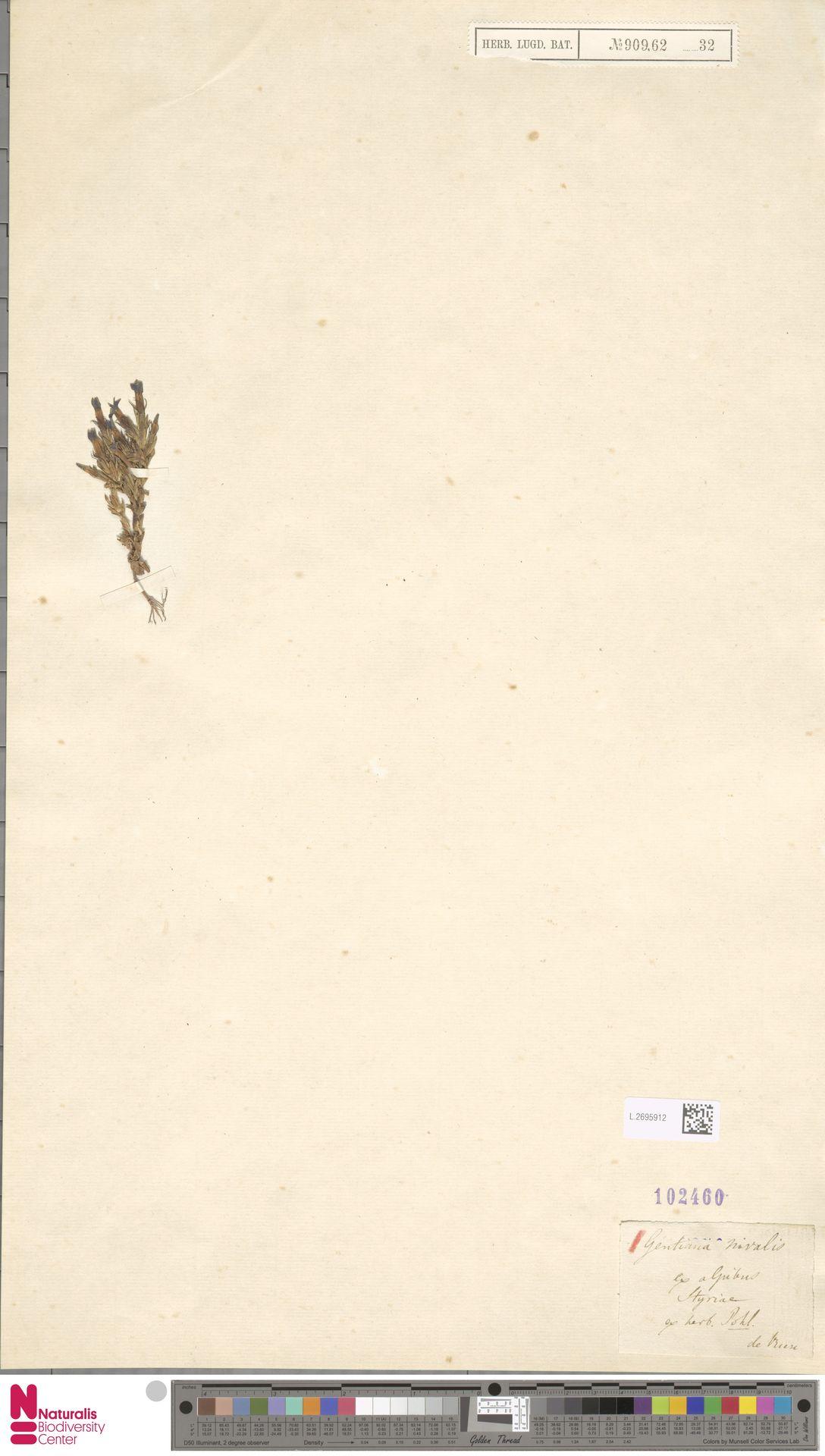 L.2695912   Gentiana nivalis L.