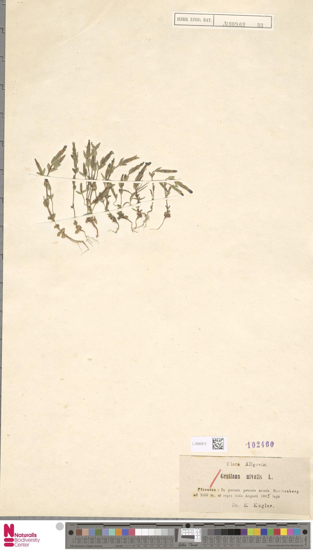 L.2695913 | Gentiana nivalis L.