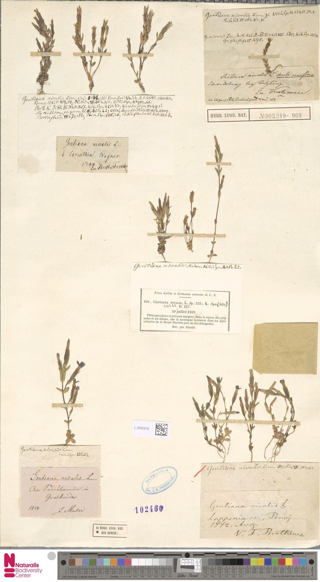L.2695916 | Gentiana nivalis L.