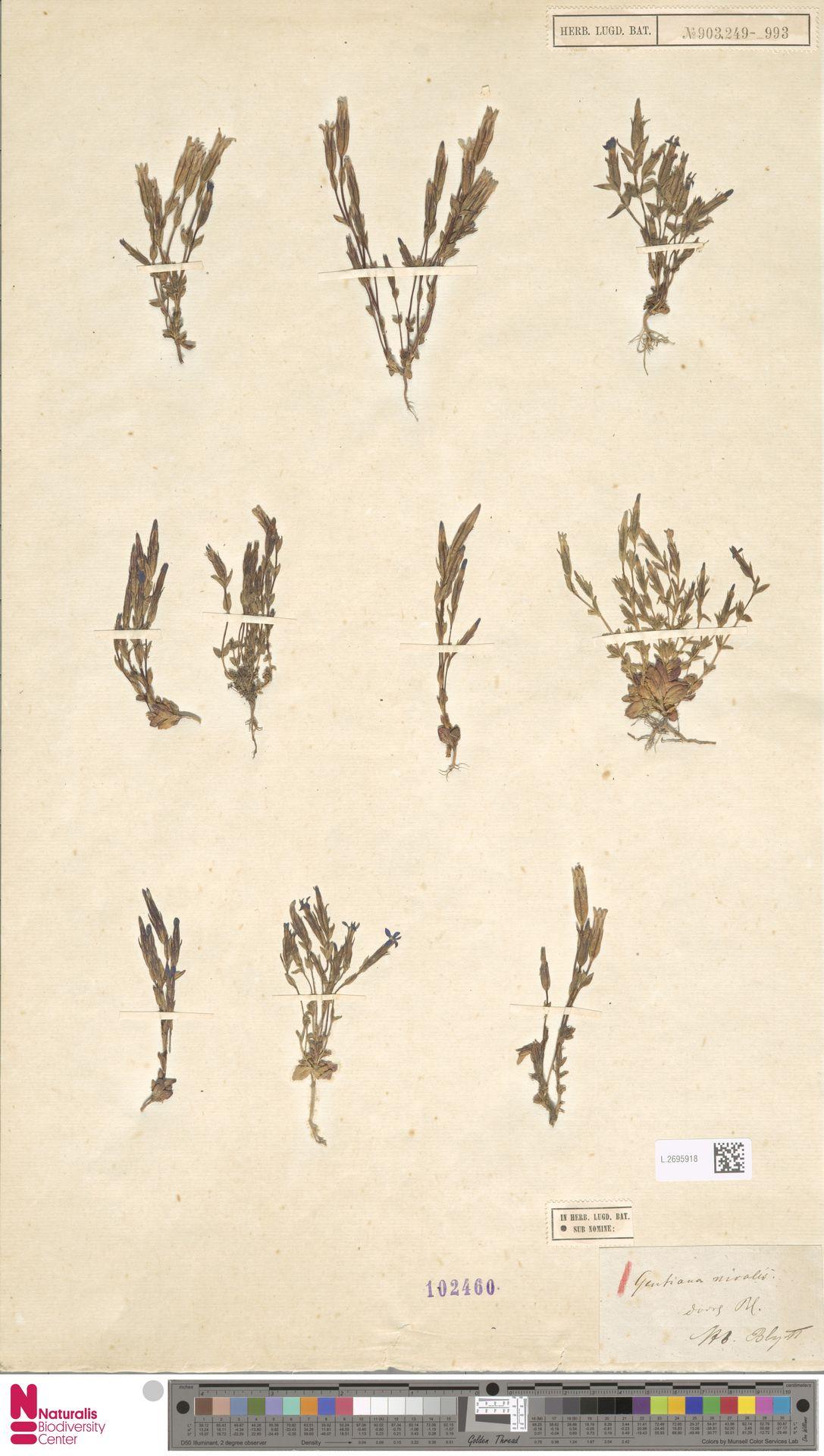 L.2695918 | Gentiana nivalis L.
