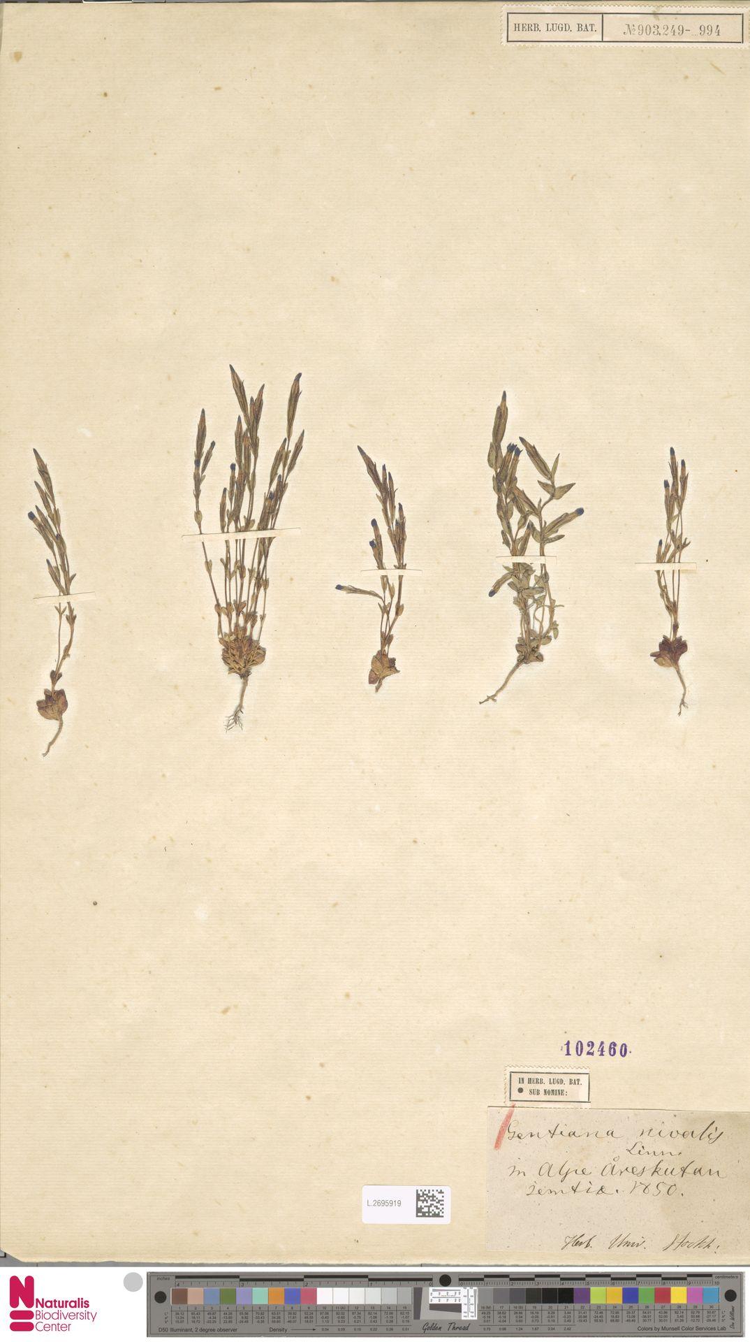 L.2695919 | Gentiana nivalis L.