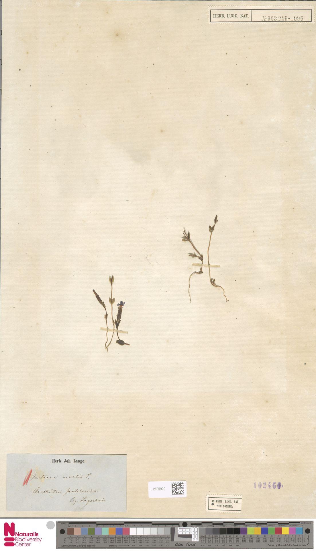 L.2695920 | Gentiana nivalis L.