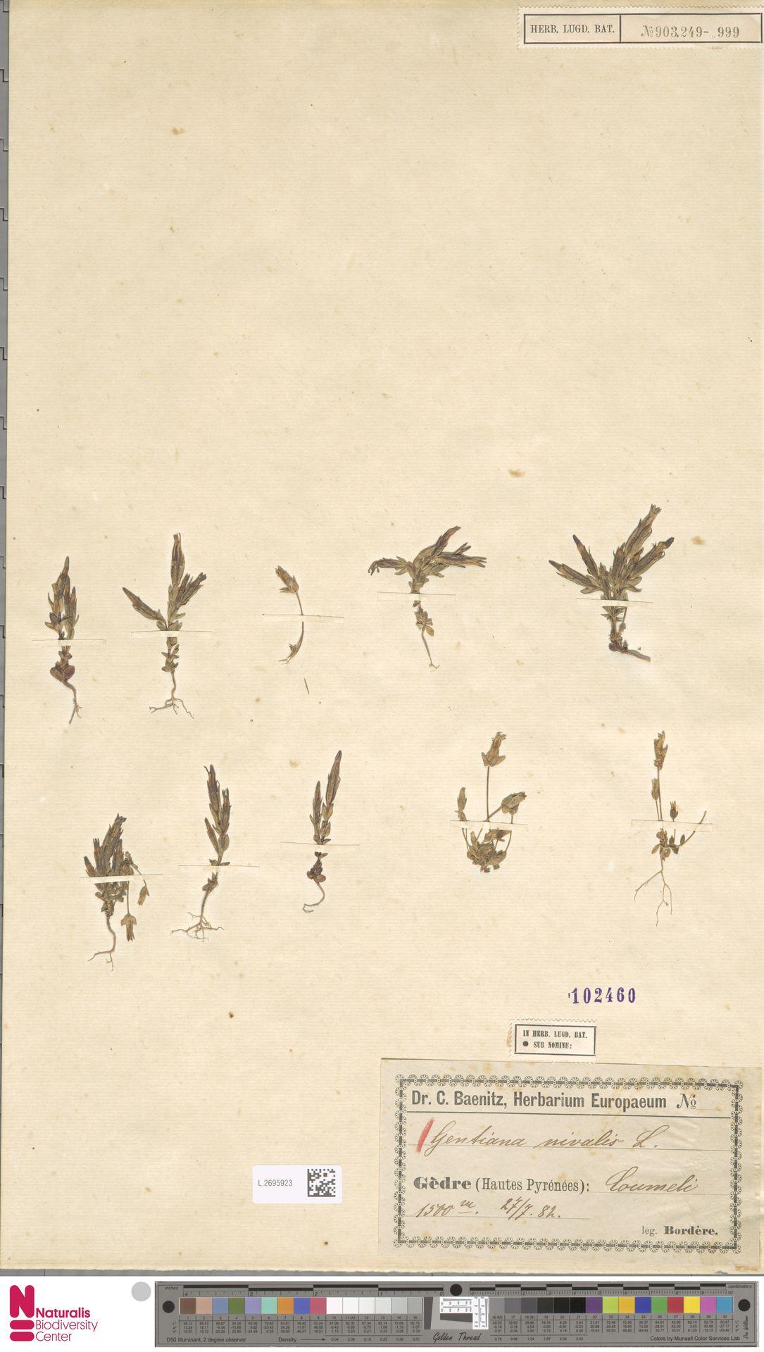 L.2695923 | Gentiana nivalis L.