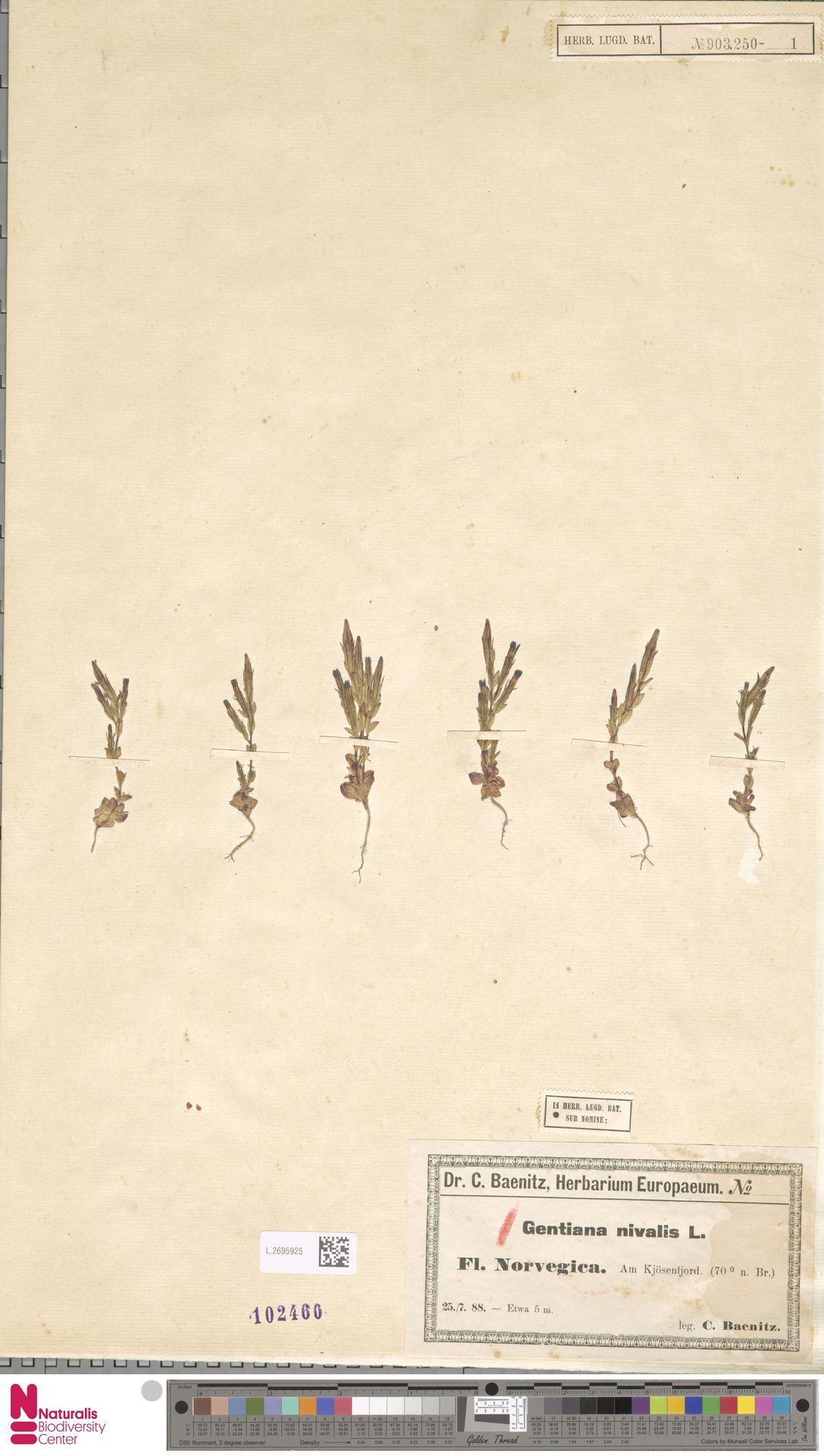 L.2695925 | Gentiana nivalis L.