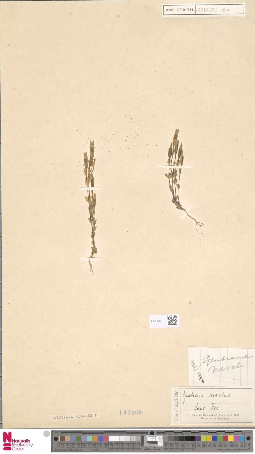 L.2695931 | Gentiana nivalis L.