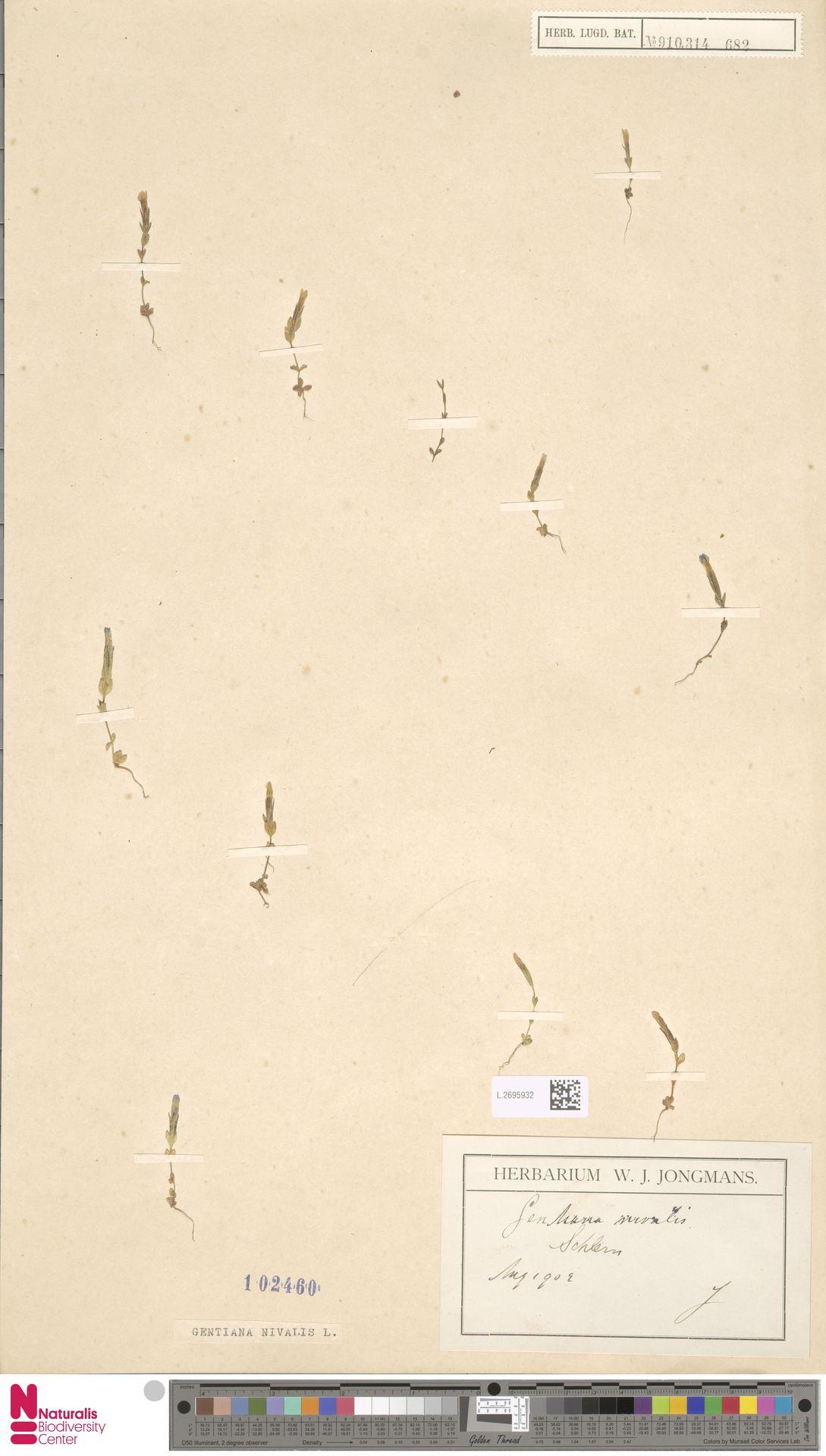 L.2695932 | Gentiana nivalis L.