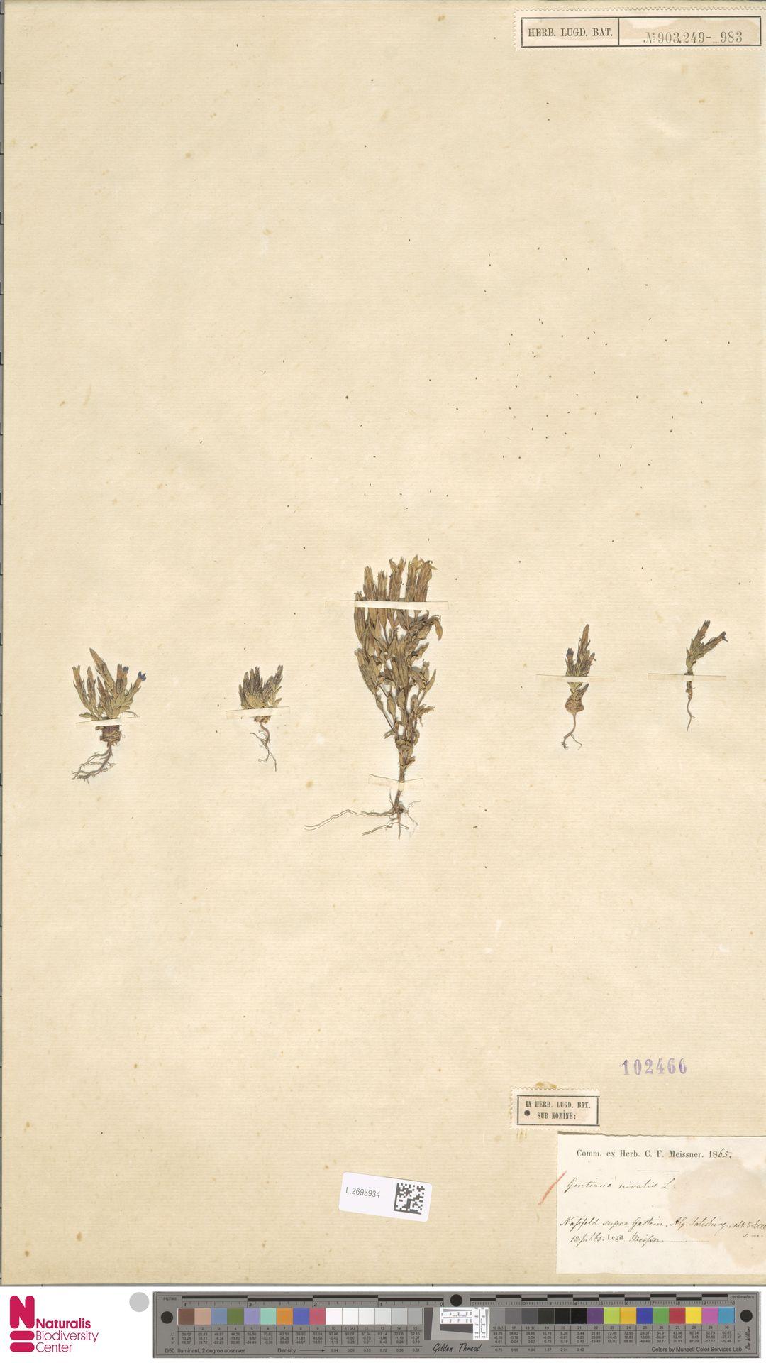 L.2695934 | Gentiana nivalis L.
