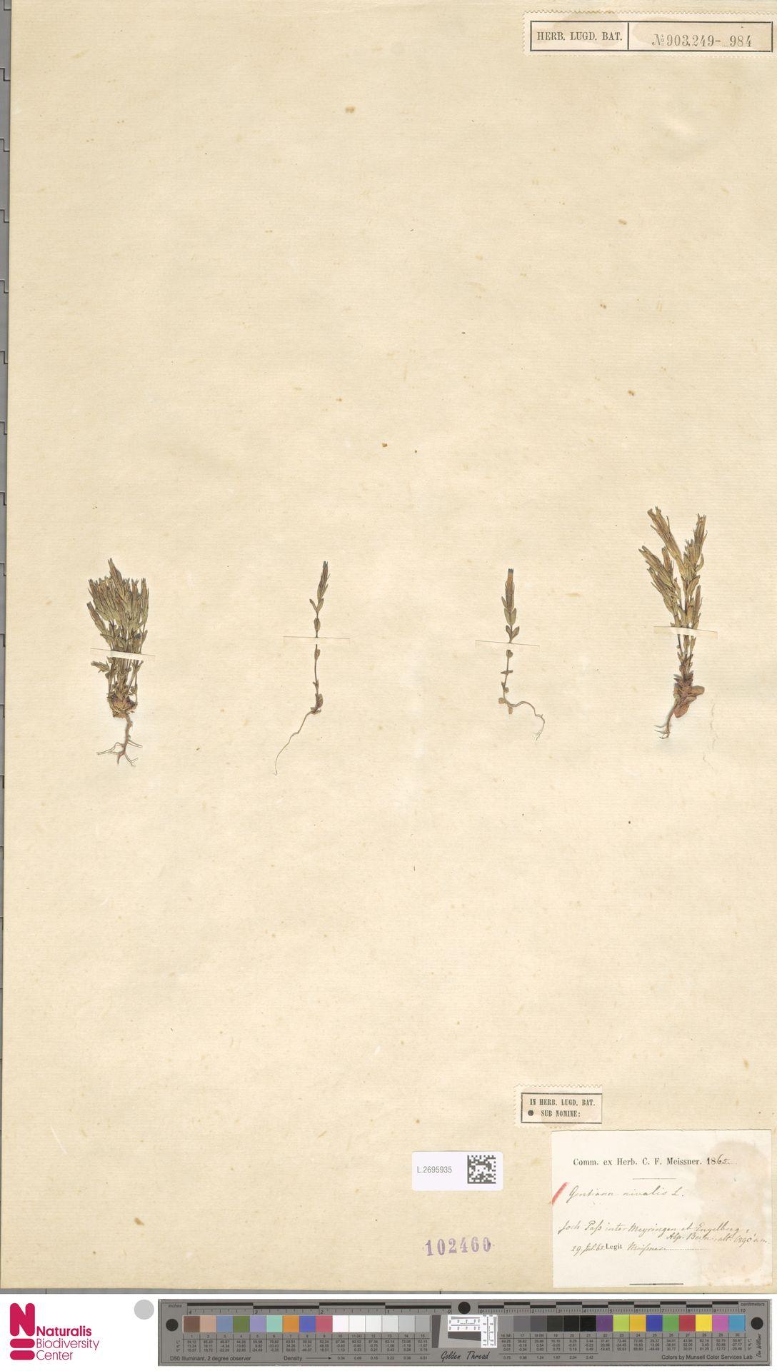 L.2695935 | Gentiana nivalis L.