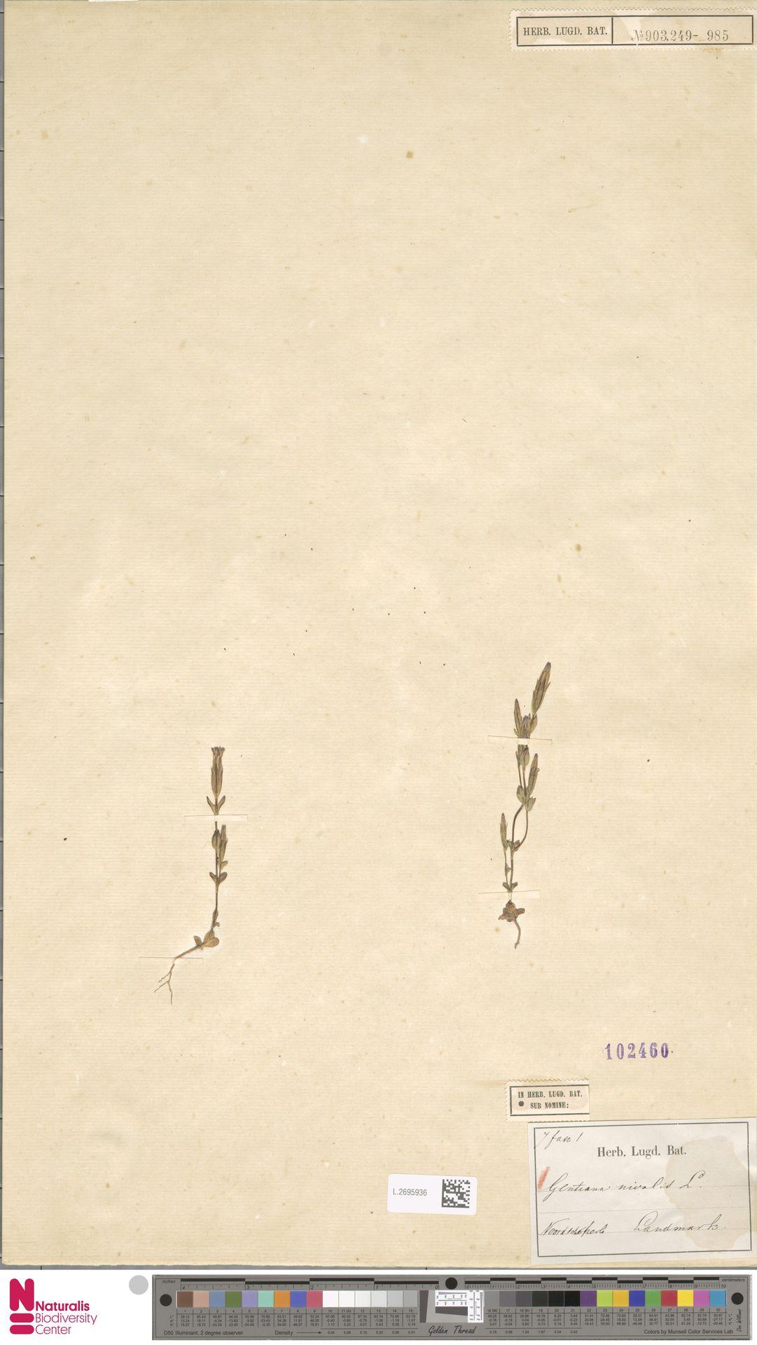 L.2695936 | Gentiana nivalis L.
