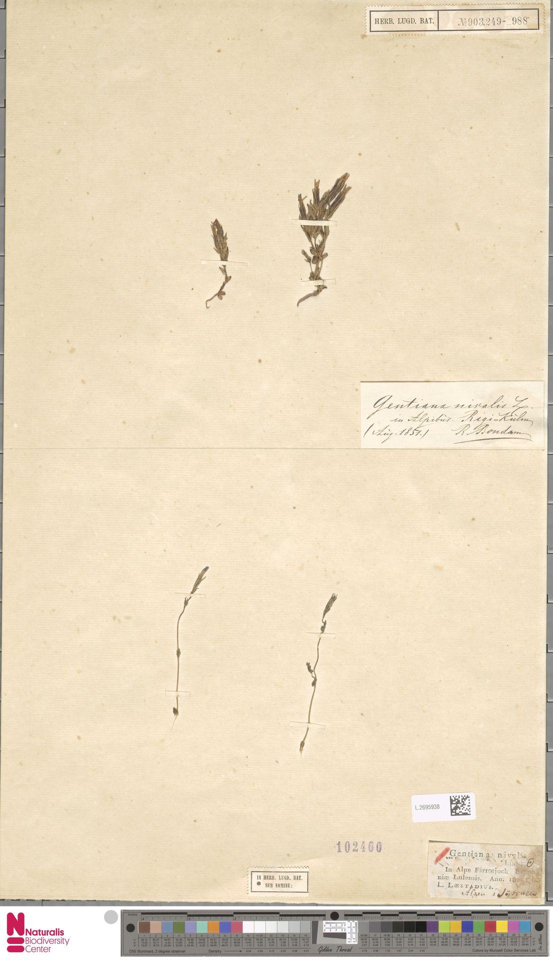 L.2695938 | Gentiana nivalis L.
