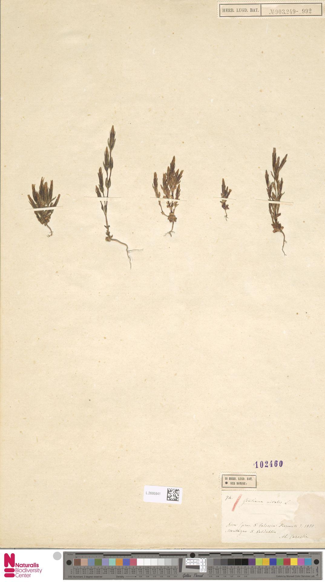 L.2695941 | Gentiana nivalis L.