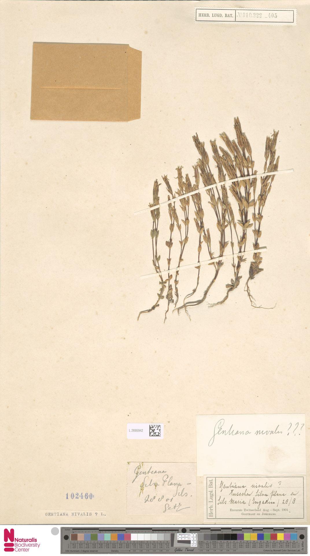 L.2695942 | Gentiana nivalis L.