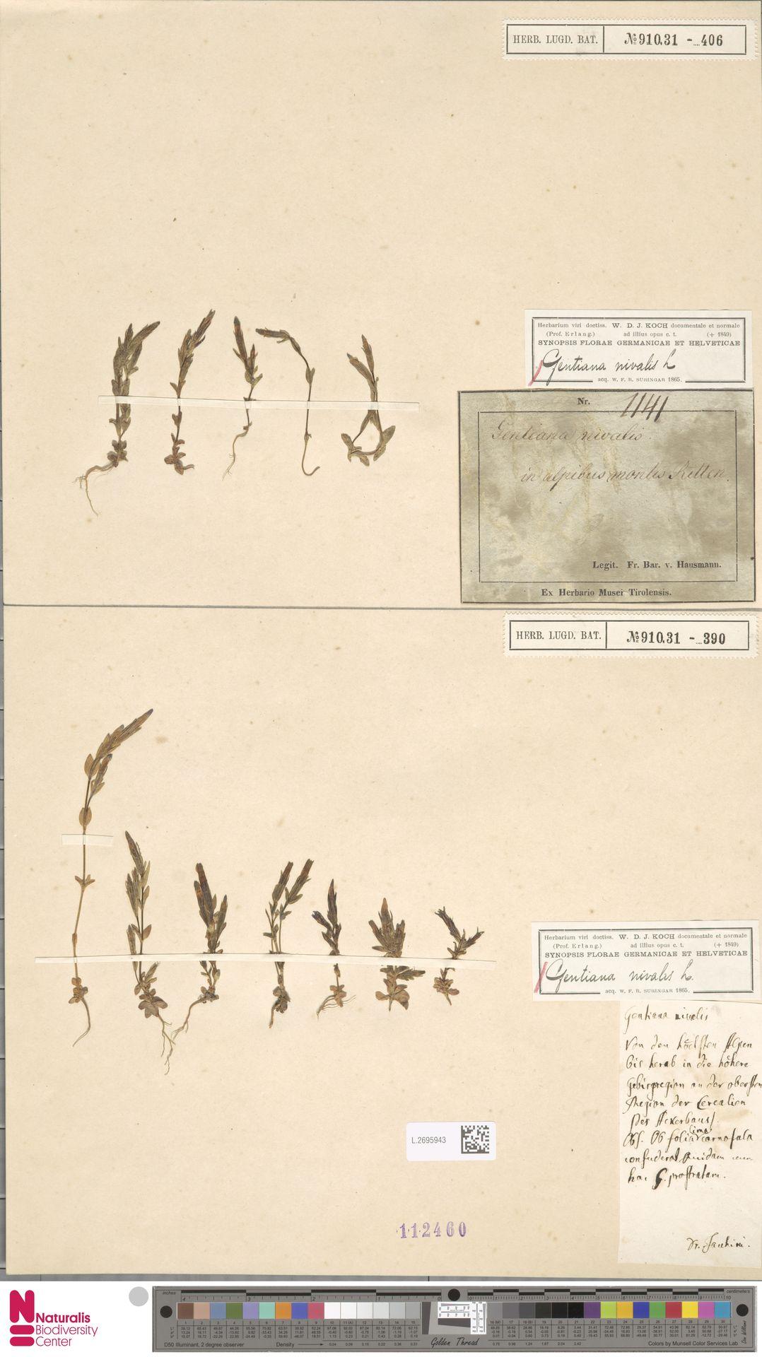 L.2695943 | Gentiana nivalis L.