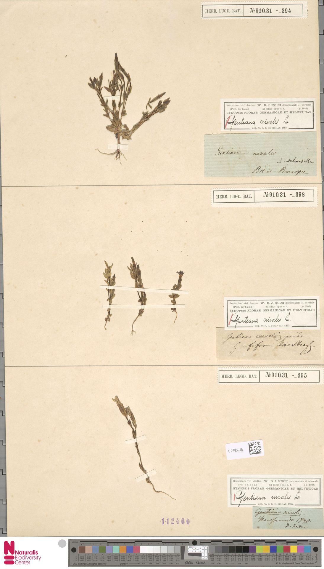 L.2695945 | Gentiana nivalis L.