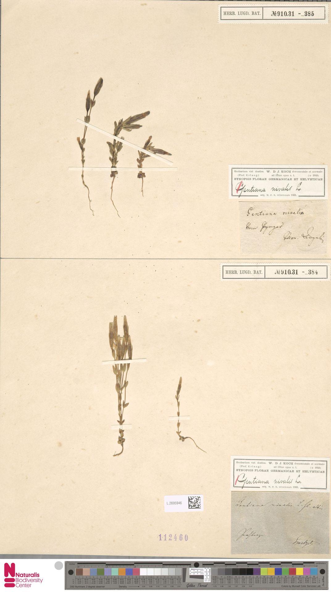 L.2695946 | Gentiana nivalis L.
