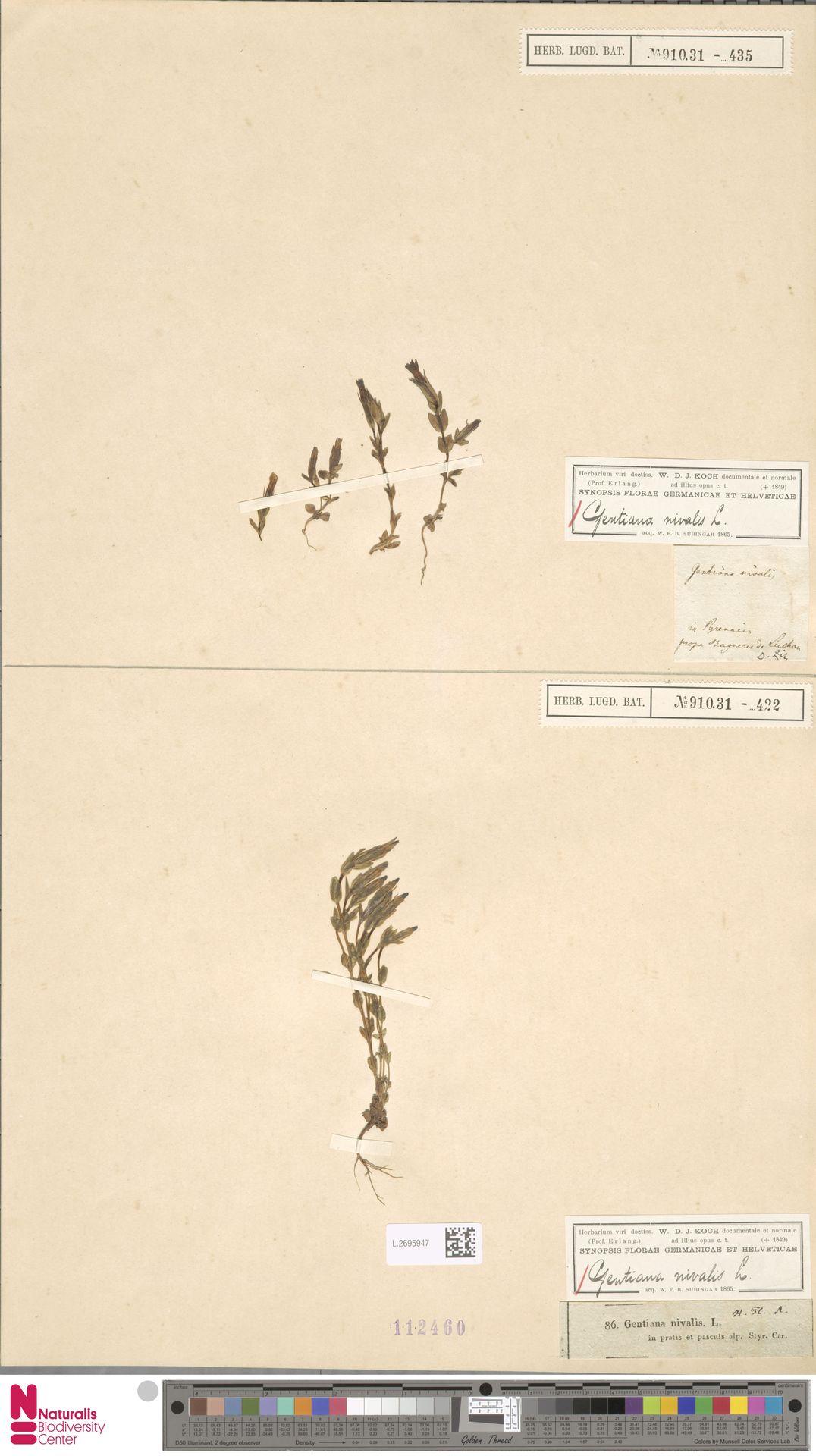 L.2695947 | Gentiana nivalis L.