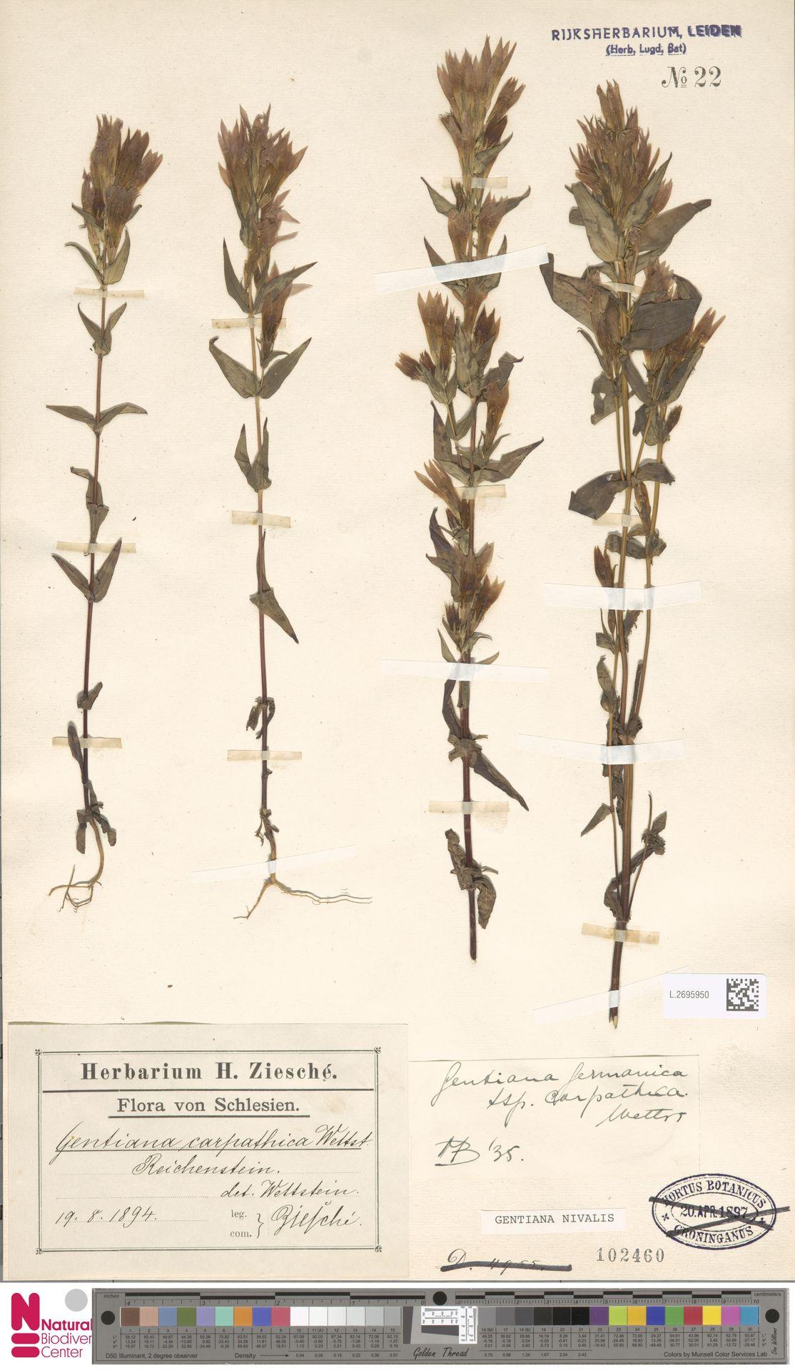 L.2695950 | Gentiana nivalis L.