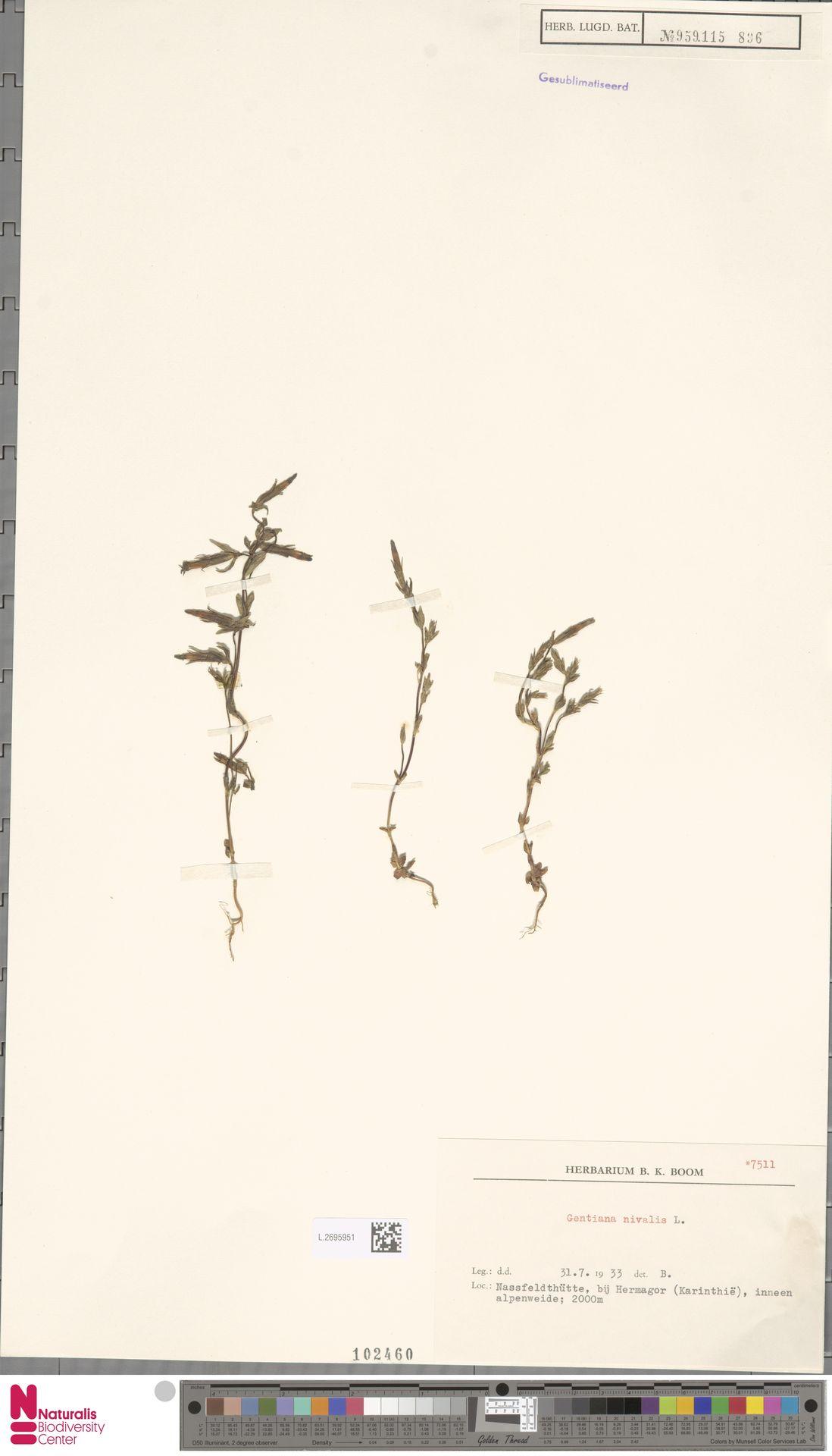 L.2695951 | Gentiana nivalis L.