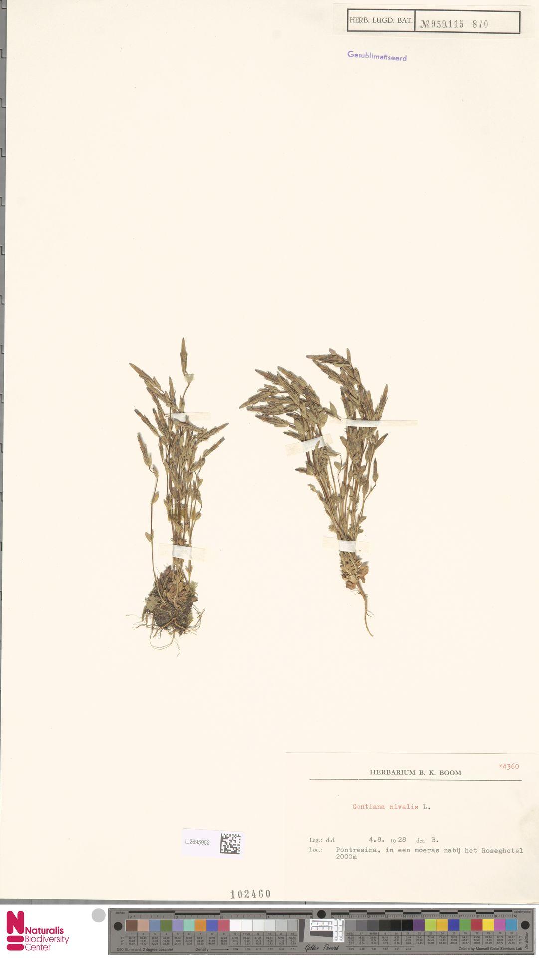 L.2695952   Gentiana nivalis L.