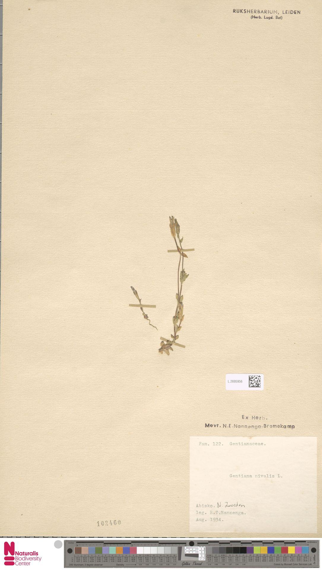 L.2695956   Gentiana nivalis L.