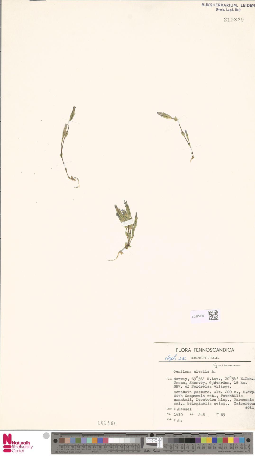 L.2695958 | Gentiana nivalis L.