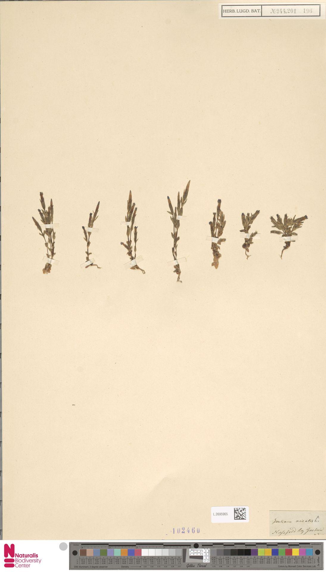 L.2695965 | Gentiana nivalis L.