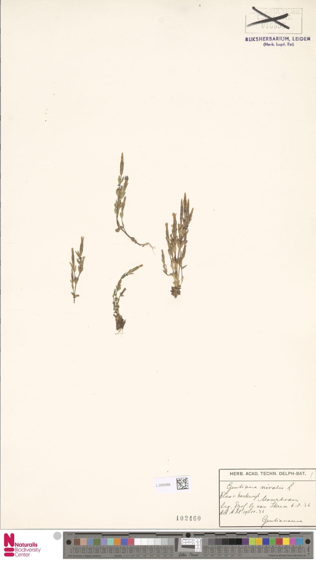 L.2695966 | Gentiana nivalis L.