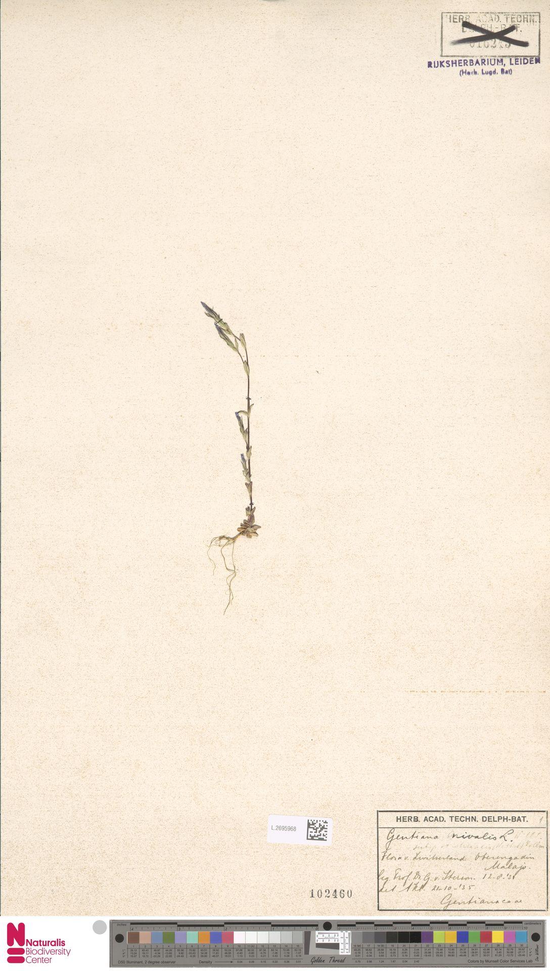 L.2695968 | Gentiana nivalis L.