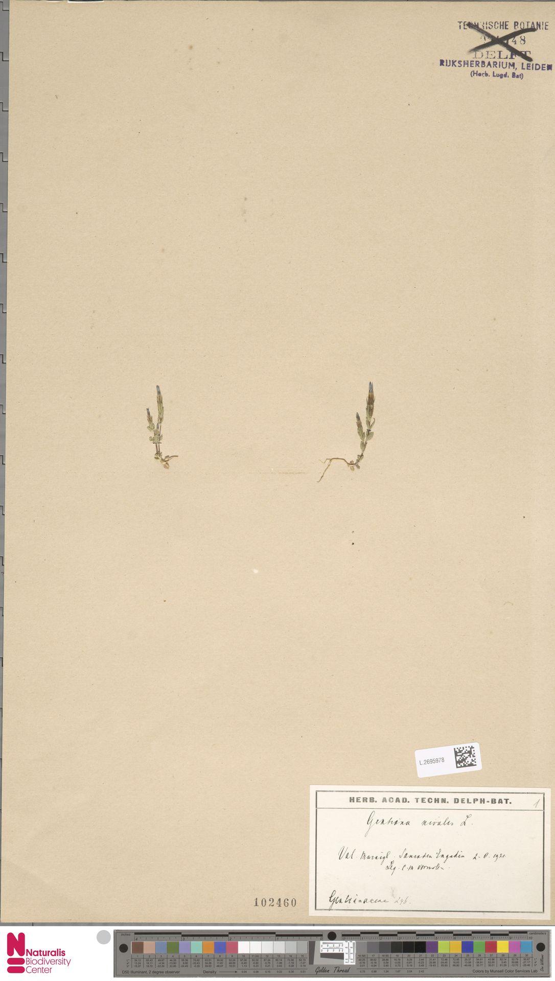 L.2695978 | Gentiana nivalis L.