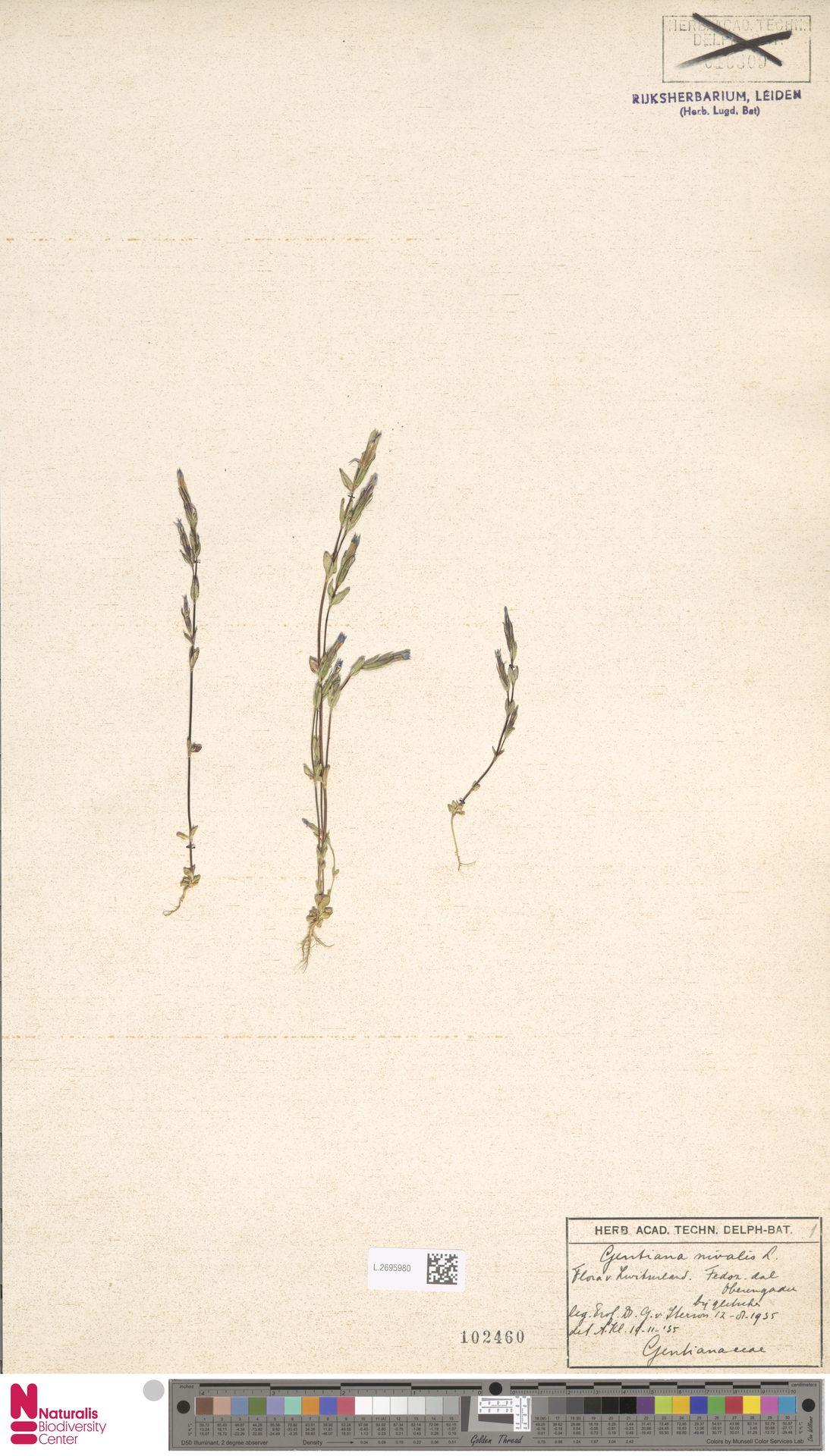 L.2695980 | Gentiana nivalis L.