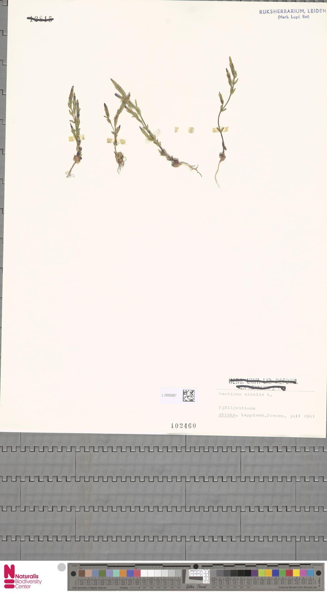 L.2695987 | Gentiana nivalis L.