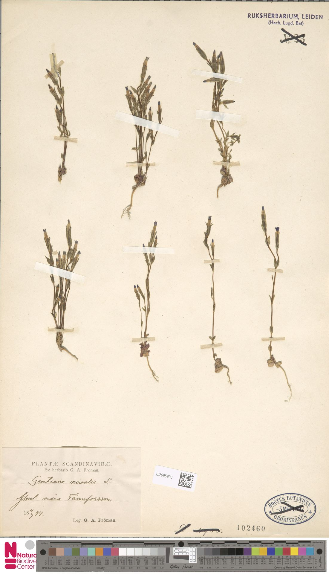 L.2695990 | Gentiana nivalis L.