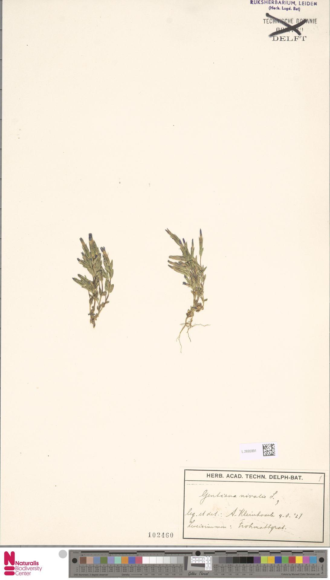 L.2695991 | Gentiana nivalis L.