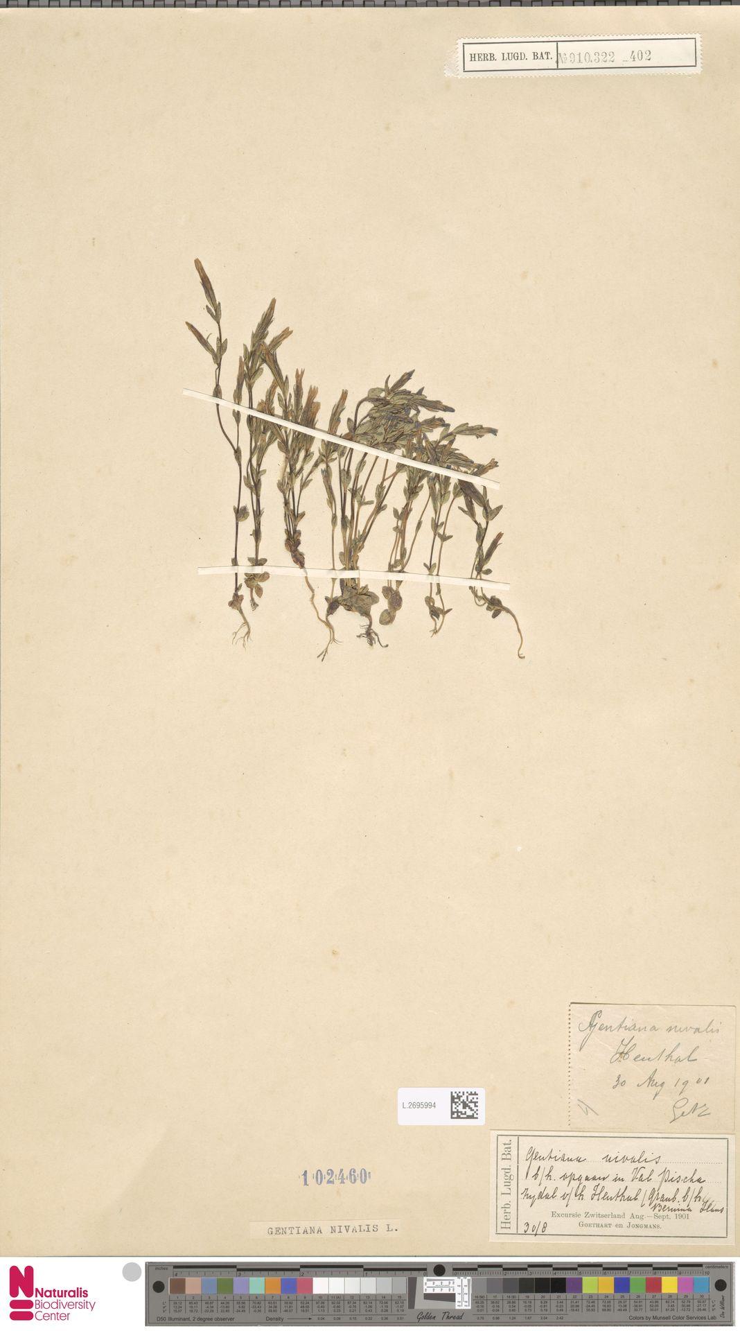 L.2695994 | Gentiana nivalis L.