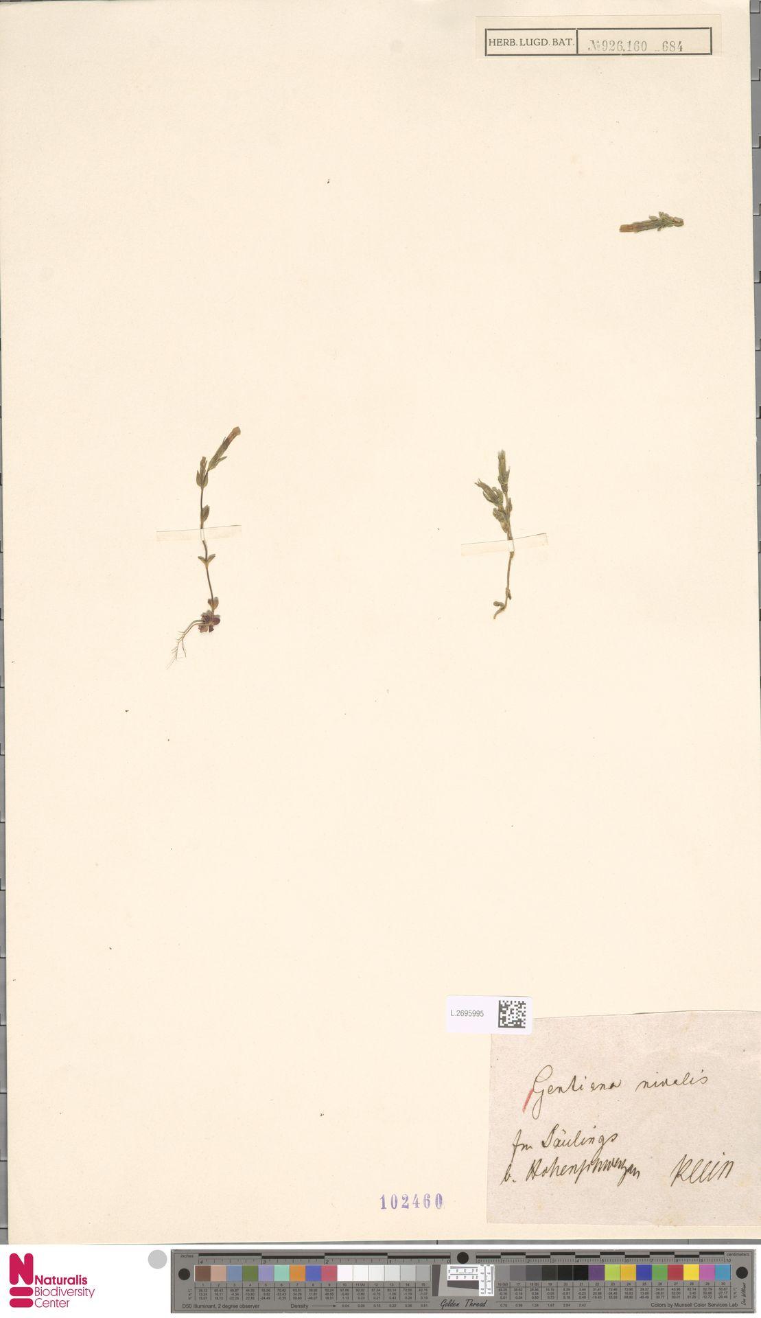L.2695995 | Gentiana nivalis L.