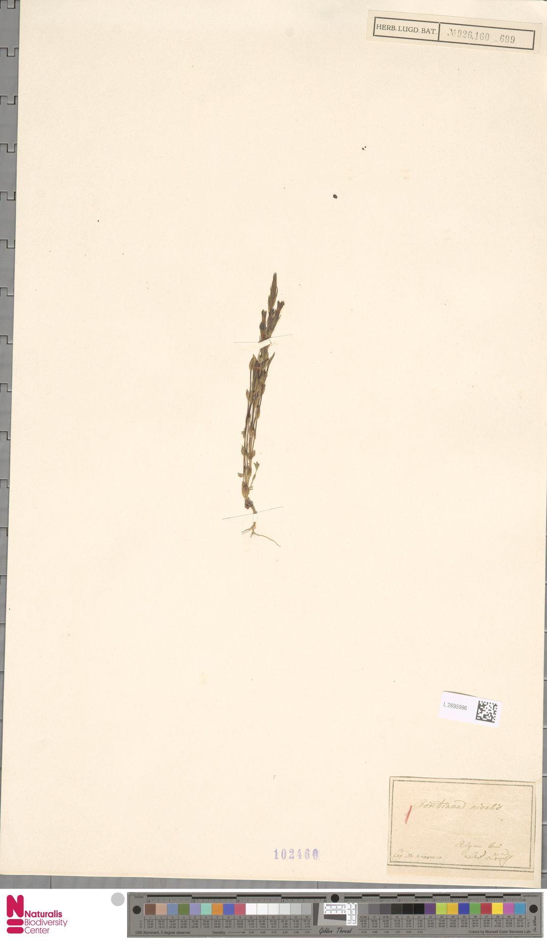 L.2695996 | Gentiana nivalis L.