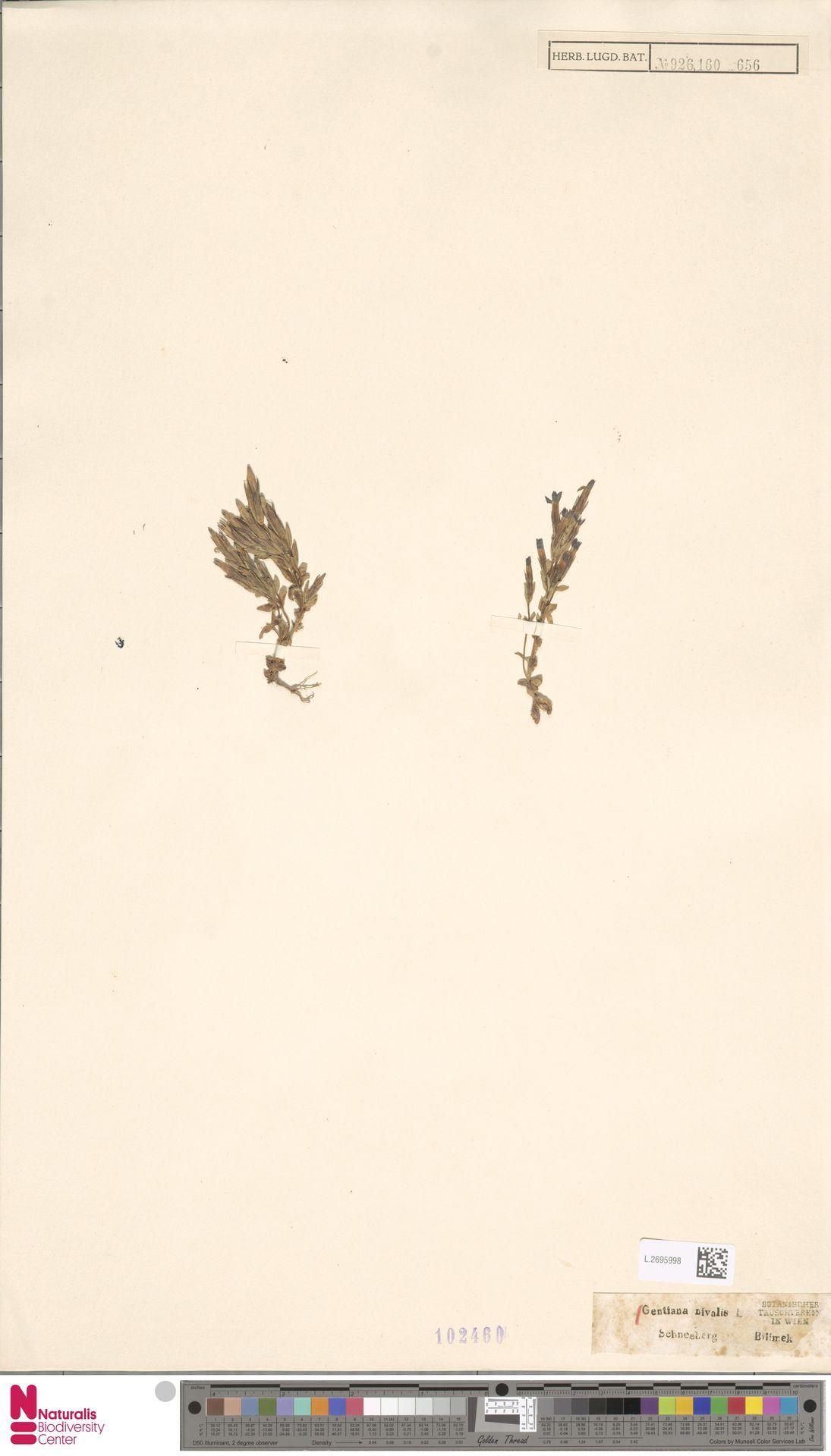 L.2695998 | Gentiana nivalis L.