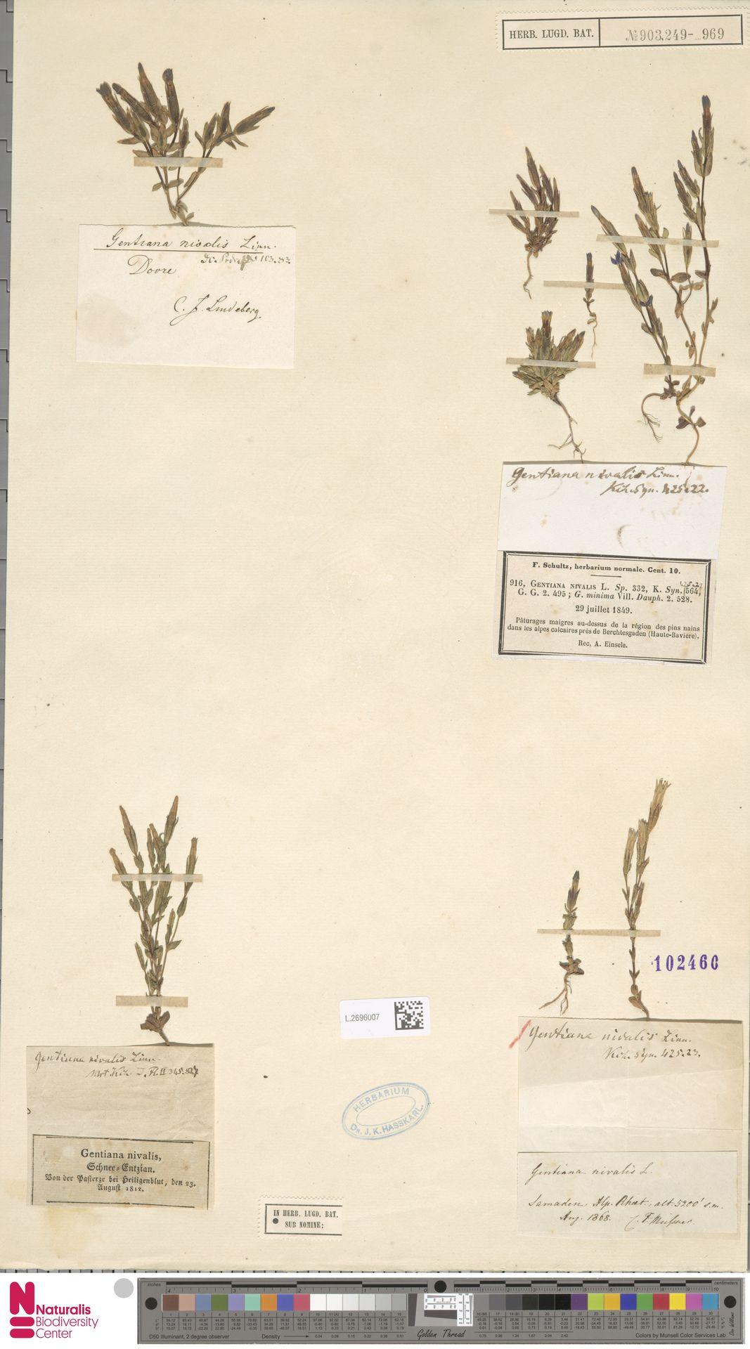 L.2696007 | Gentiana nivalis L.
