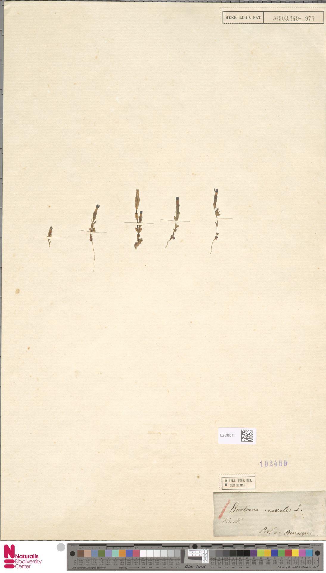 L.2696011 | Gentiana nivalis L.