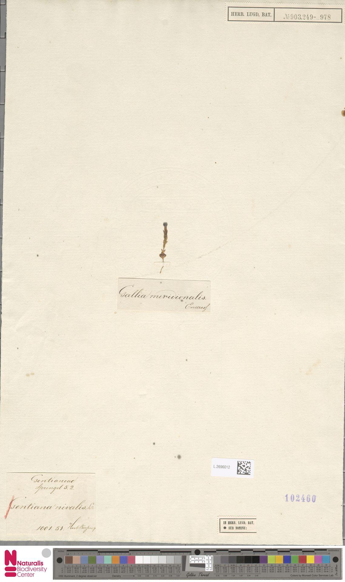 L.2696012 | Gentiana nivalis L.