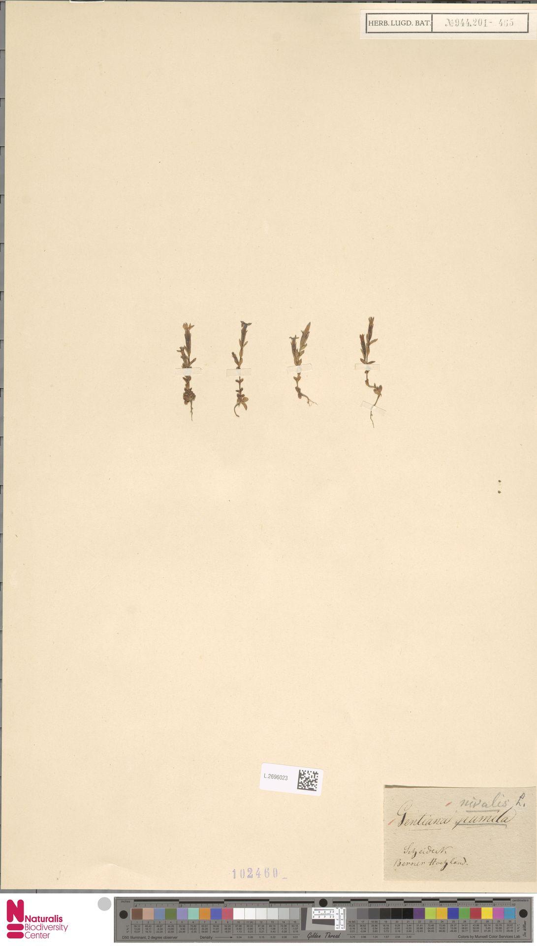 L.2696023 | Gentiana nivalis L.
