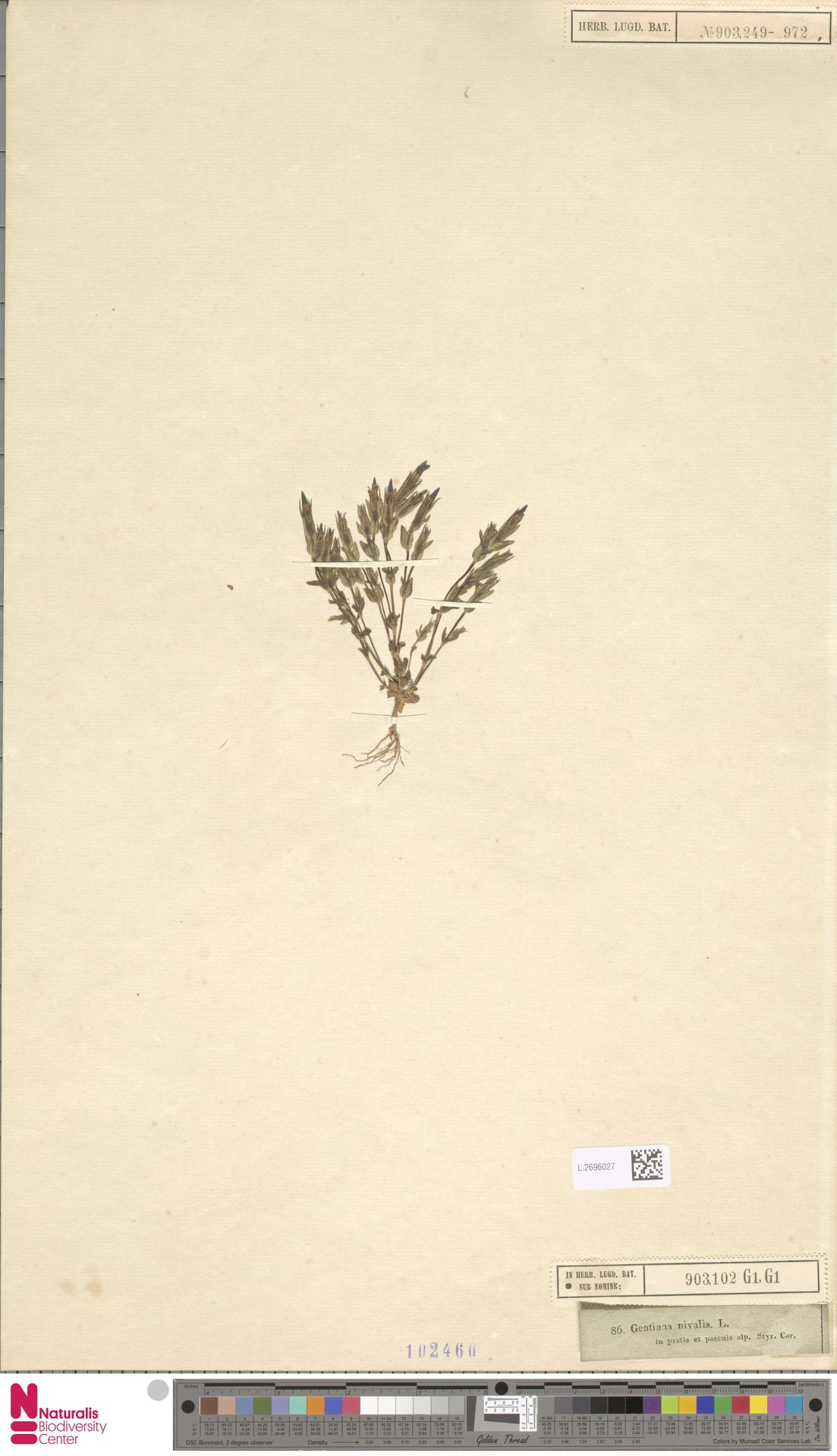L.2696027 | Gentiana nivalis L.
